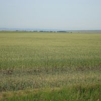 Wheat field - MT (07/2009), Гласгоу