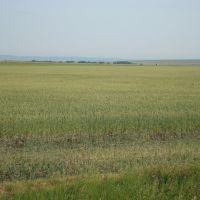 Wheat field - MT (07/2009), Грейт-Фоллс