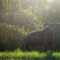 Early morning moose, Бревер