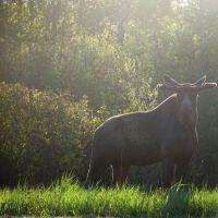 Early morning moose, Горхам