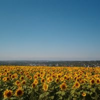 Caribou Sunflower, Левистон