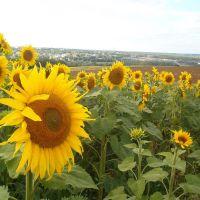 Caribou Sunflower2, Левистон