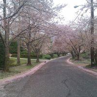 Cherry blossom in Kenwood, Бетесда