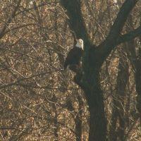 Bald Eagle, Лансдаун