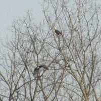 Bald Eagle friends, Лансдаун