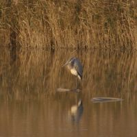 Heron with an attitude, Памфри