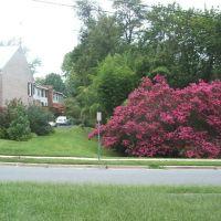 Silver Spring, Maryland ~ Crape Myrtle Abloom, Силвер Спринг