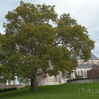 Immaculate Conception Tree, Таусон