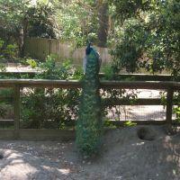 peacock, Фрутленд