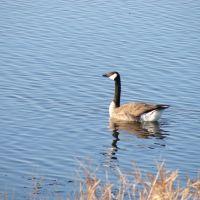 Canadian Goose, Папиллион