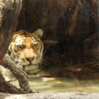 水浴びするトラ, Папиллион