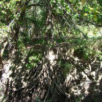 Exposed Oak Roots, Рока