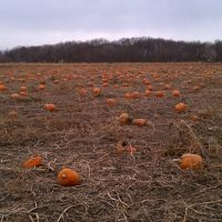 Leftover Pumpkins in the field, Рока