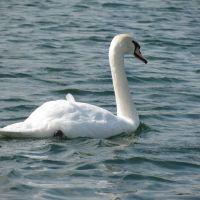 Floating Swan, Спрагуэ