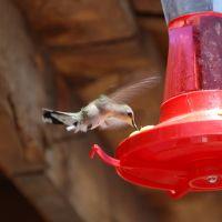 collibri dans le Nevada, Вегас-Крик
