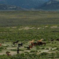 Wild horses near Shamrock Spring at north end of Monitor Range, Вегас-Крик