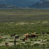 Wild horses near Shamrock Spring at north end of Monitor Range, Ловелок