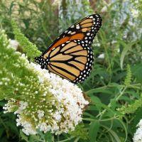 butterfly on butterfly bush, Довер