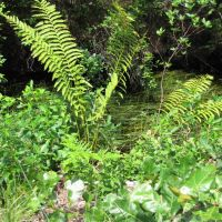 Sawmill & Reservoir Trail; Ferns & Oak Saplings, Бичвуд