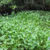 Sawmill & Reservoir Trail; Pickerelweed & White Water Lilies, Бичвуд