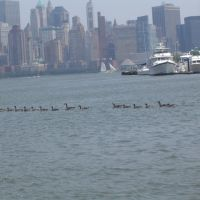 Patos en el Hudson river...9 + 6, Джерси-Сити