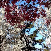 """Cherry Blossom Sky"" - Harborside Walk Park - Between The Raritan Bay & Sadowsky Pkwy - Perth Amboy, NJ - 4.18.2008, Перт-Амбой"