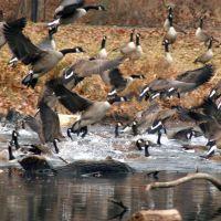 Newton Lake, Canada Geese, Хаддон