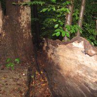 Hopkins Pond Fallen Tree Bark, Хаддон