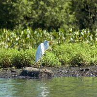 Cooper River Great Egret, Черри-Хилл
