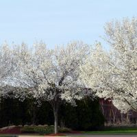 copyrighted__  B-Mets Parking Lot Pear Trees Henry St., Бингамтон