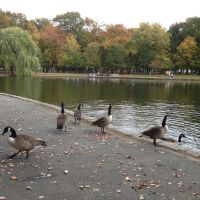 Geese in the Bowne Park, Броквэй