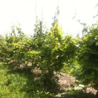 Dalrymple Ovid Vineyard before catch wire, Виллард