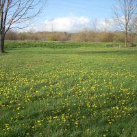 dandelion lawn, Гилбертсвилл