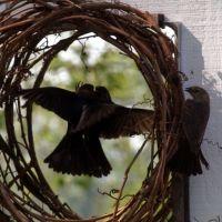 Cowbird defense, Гилбертсвилл