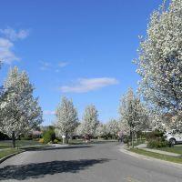 White Flowering Trees along Hayrick Lane - Commack, NY (April 2012), Коммак