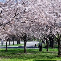 USA - NY. New York City, Queens. Spring with full blossoming at QMA & Corona State Park., Корона