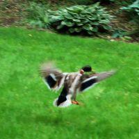 Duck in flight, Лауренс