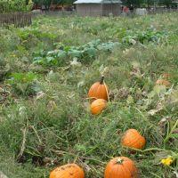 citrouilles..pumpkins, Лейк-Саксесс