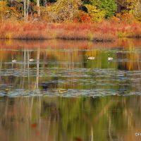 Wildlife on the pond in Hurleyville, NY., Либерти