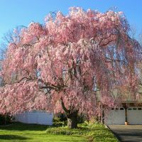 Weeping Cherry Tree at Woodland Road & View Drive - Miller Place, NY, Миддл-Айденд