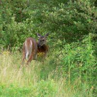 Deer, Миноа