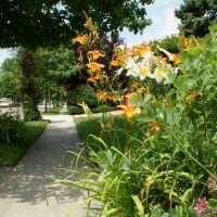 Lilacs on Lakeview Ave, Rockville Center, LI., NY, Оушннсайд