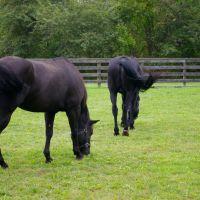 Horses in the Paddock, Плайнвью