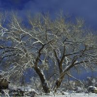 cotton wood in the snow, Киртленд