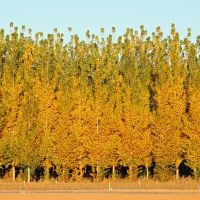 Hybrid poplar autumn colors, Киртленд