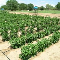 Drip-irrigation research on chile, tomatos, and corn at NMSU Agricultural Science Center in Farmington, NM., Киртленд