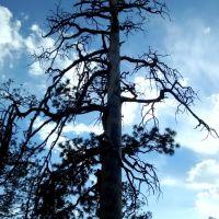 Tree off Omega Canyon Trail, Los Alamos, NM, Лос-Аламос
