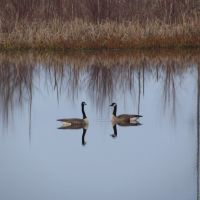 A pair of Canada geese, Muscatatuck NWR, Бедфорд-Хейгтс