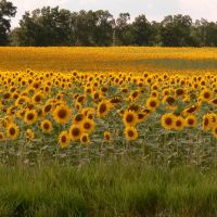 Sunflower sunrise in Clinton, Michigan, Браднер