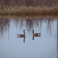 A pair of Canada geese, Muscatatuck NWR, Виллугби-Хиллс